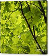 Spring - Beneath The Great Maple Canvas Print