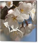 Spring Blooming Yoshino Cherry Tree Canvas Print