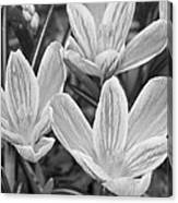 Spring Crocus In Black And White Canvas Print