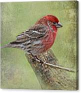 Spring Finch Canvas Print