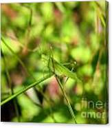 Spring Hopper Canvas Print