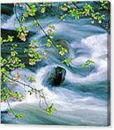 Spring Middle Prong Little River Canvas Print