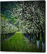 Springtime In The Orchard II Canvas Print