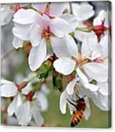 Springtime Weeping Cherry Tree Canvas Print