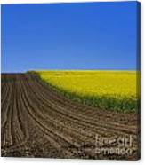 Sprouting Field Of Sunflowers And Field Of Rape. Auvergne. France. Europe Canvas Print