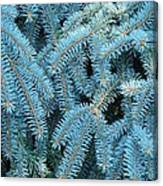 Spruce Conifer Nature Art Prints Trees Canvas Print
