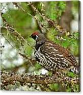 Spruce Grouse Canvas Print