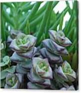 Squarely Purple Succulent Crassula Baby Necklace Canvas Print
