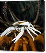 Squat Lobster Carrying Eggs, Indonesia Canvas Print