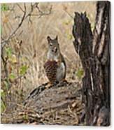 Squirrel And Cone Canvas Print