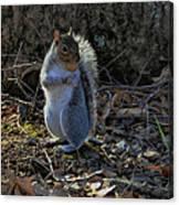 Squirrel At Base Of Tree - C2074b Canvas Print