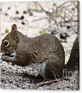 Squirrel Eating Nuts Canvas Print