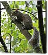 Squirrel I Canvas Print