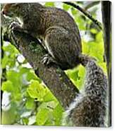 Squirrel IIi Canvas Print