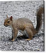 Squirrel On A Road Canvas Print