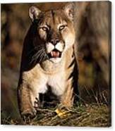 Stalking Mountain Lion Canvas Print