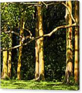 Stand Of Rainbow Eucalyptus Trees Canvas Print