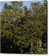 Stand Of Sugar Maple Trees Canvas Print