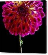 Stand Up Dahlia Canvas Print