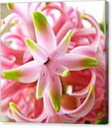 Star Of The Show Hyacinth  Canvas Print