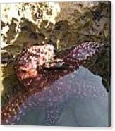 Starfish Ca Tidepools Canvas Print