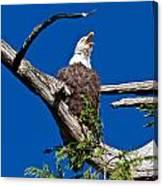 Squawking Alaskan Eagle Canvas Print