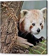 Stealthy Red Panda Canvas Print