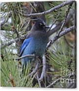 Stellar's Jay In Profile Canvas Print