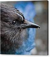 Stellars Jay Up Close And Personal Canvas Print
