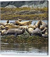 Stellers Sea Lion Eumetopias Jubatus Canvas Print