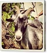 Steve My Goat Canvas Print