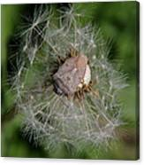 Stink Bug On Dandelion Seed Head Canvas Print