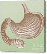 Stomach Canvas Print