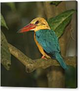 Stork-billed Kingfisher Perched Canvas Print