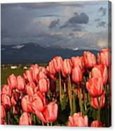 Stormin' Tulips Canvas Print