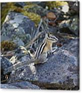 Straight Tailed Chipmunk On A Rock Canvas Print