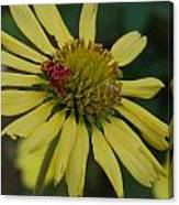 Strawberry Moth On A Yellow Flower Canvas Print