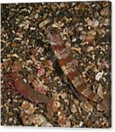 Striated Goby And Blind Shrimp, North Canvas Print