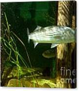 Striped Bass In Aquarium Tank On Cape Cod Canvas Print