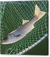 Striped Bass In Net.  The Fish Canvas Print