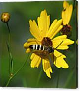Striped Bee On Wildflower Canvas Print