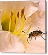 Striped Beetle On Lilly 1 Canvas Print