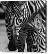 Stripes - Zebra Canvas Print