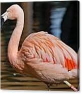 Strolling Flamingo Canvas Print
