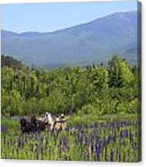 Sugar Hill Horse Tour And Lupines Canvas Print