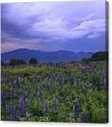 Sugar Hill Lupines Thunderstorm Clearing Canvas Print