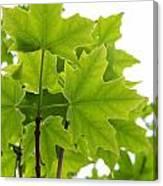 Sugar Maple Leaves Canvas Print