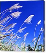 Sugarcane Canvas Print