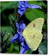 Sulphur Butterfly On Wildflower Canvas Print