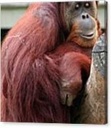 Sumatran Orangutan Canvas Print